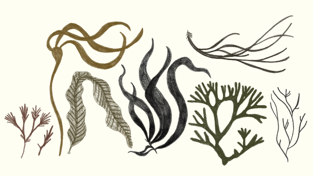 What the Kelp? A Cultural Exploration of this Humble Yet Mighty Seaweed